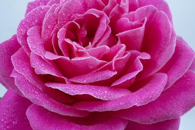 Foto macro de uma linda rosa rosa com gotas de água