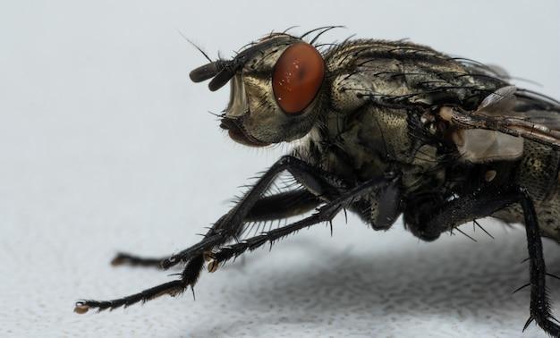 Foto macro de uma mosca
