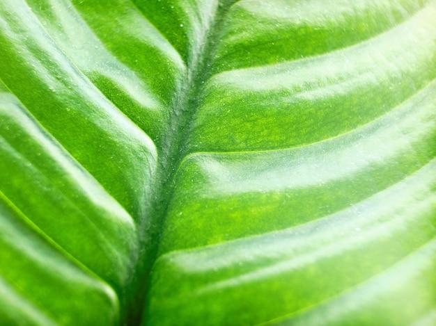 Foto macro de uma textura de folha verde