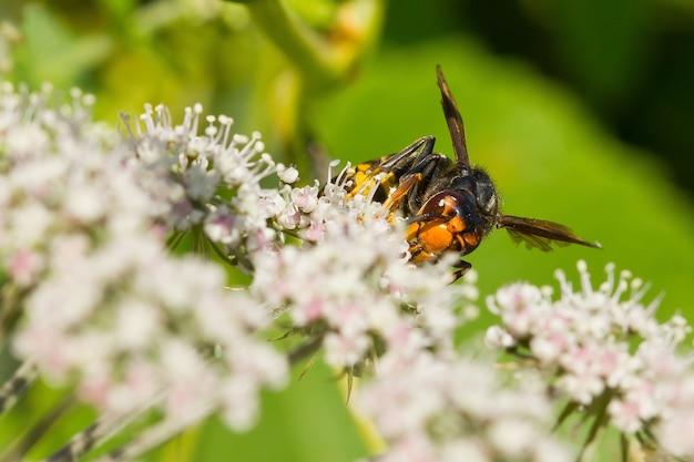 Foto macro do vespão asiático polinizando nas flores
