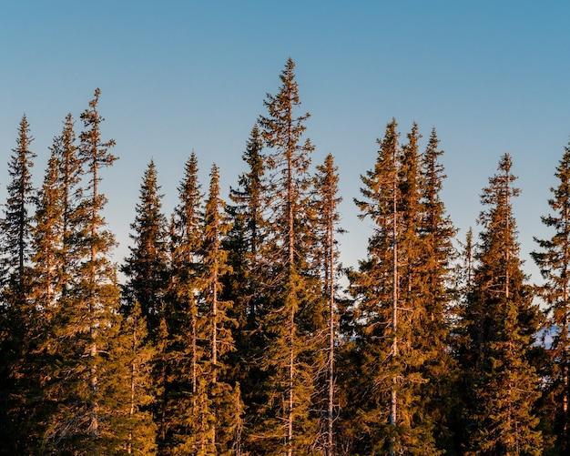 Foto panorâmica de uma floresta de pinheiros em um fundo de céu claro durante o nascer do sol