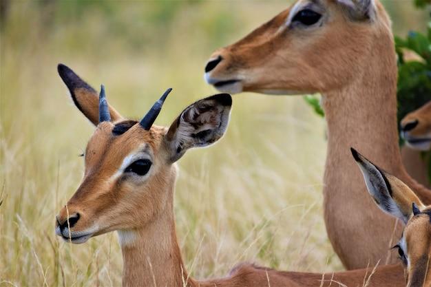 Foto próxima de um cervo bebê perto de sua mãe em um campo gramado seco