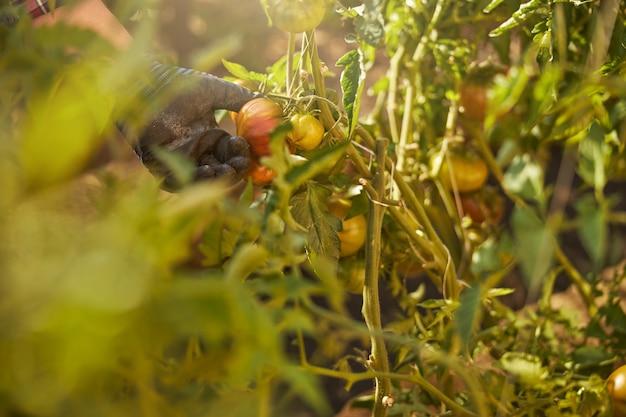 Foto recortada de tomates cultivados em casa sendo tocados pela mão de um jardineiro