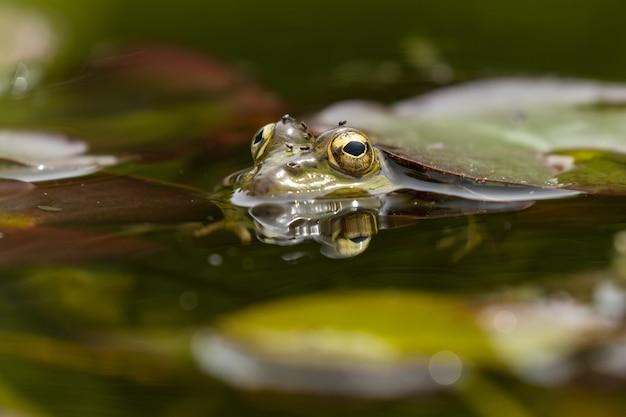 Foto seletiva de um sapo em um lago sob uma folha flutuante
