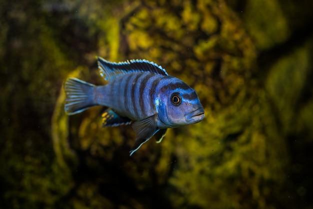 Foto seletiva do aquário azul com padrões pretos de peixes cichlidae
