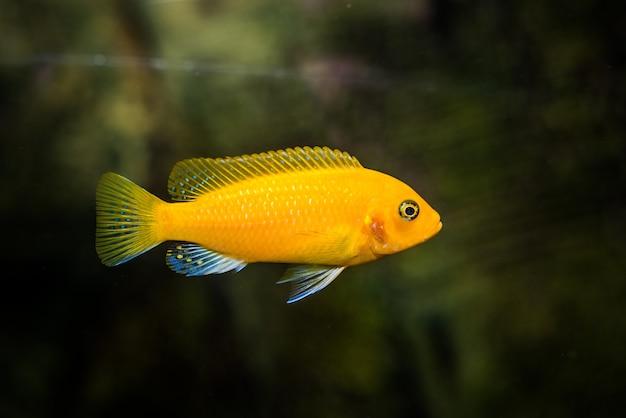 Foto seletiva do peixe cichlidae amarelo do aquário