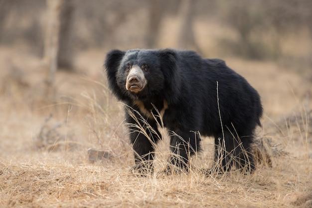 Foto única de ursos-preguiça na índia