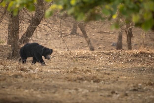 Foto única de ursos-preguiça na índia Foto Premium