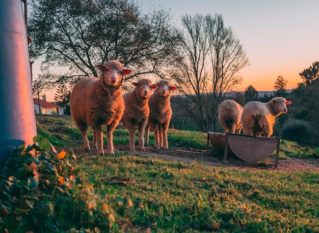 Foto vertical da ovelha pastando em campos verdes durante o pôr do sol com as árvores ao fundo