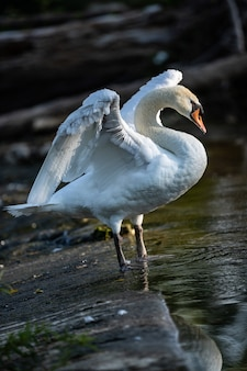 Foto vertical de cisne na lagoa