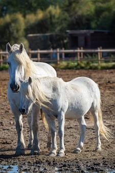 Foto vertical de dois cavalos brancos parados na fazenda