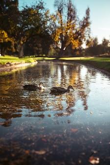 Foto vertical de dois patos nadando em um rio