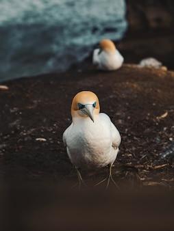 Foto vertical de gannets do norte sentados no solo lamacento perto das rochas