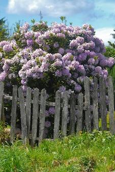 Foto vertical de lindas flores de glicínias atrás de uma cerca de madeira