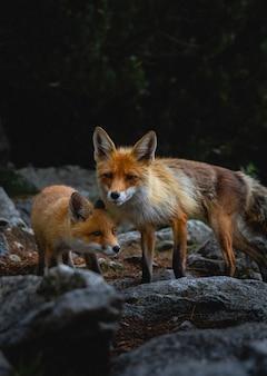 Foto vertical de raposas perambulando pelas rochas em uma floresta