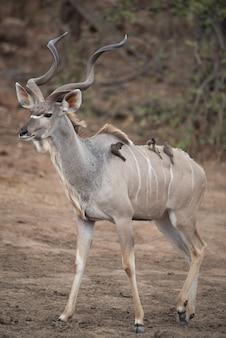 Foto vertical de um antílope kudu com pequenos pássaros nas costas
