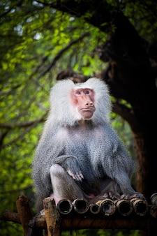 Foto vertical de um babuíno hamadryas macho
