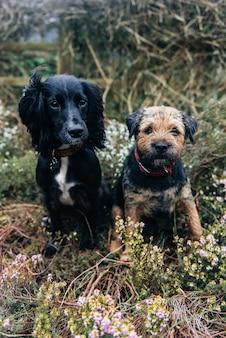 Foto vertical de um border terrier e um spaniel sentado na grama seca