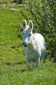 Foto vertical de um burro branco em um campo de fazenda, caminhando na vegetação sob a luz do sol