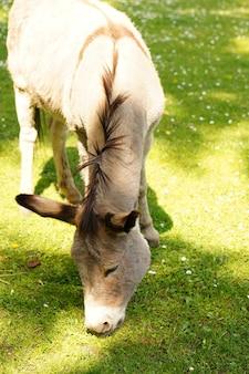 Foto vertical de um burro comendo grama