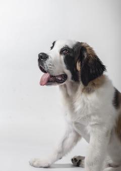 Foto vertical de um cachorrinho fofo de são bernardo