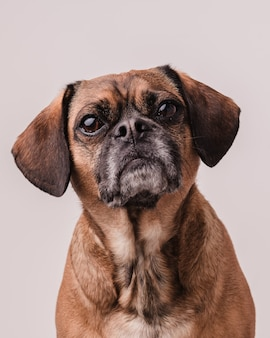Foto vertical de um cachorrinho puggle marrom fofo