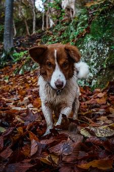 Foto vertical de um cachorro border collie em uma floresta de outono