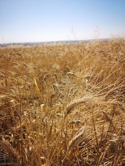 Foto vertical de um campo de trigo sob a luz do sol