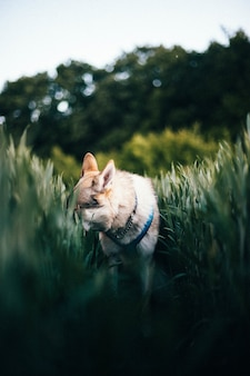 Foto vertical de um cão-lobo tchecoslovaco em um campo com grama alta durante o dia