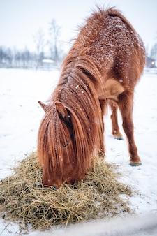 Foto vertical de um cavalo com cabelo comprido comendo feno no norte da suécia