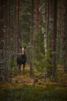 Foto vertical de um cervo na floresta com árvores altas durante o dia