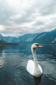 Foto vertical de um cisne branco nadando no lago em hallstatt