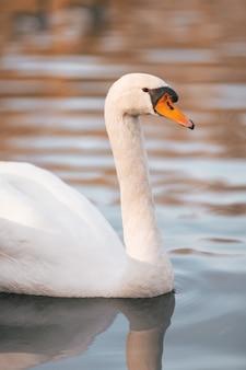 Foto vertical de um cisne mudo em um lago sob a luz do sol