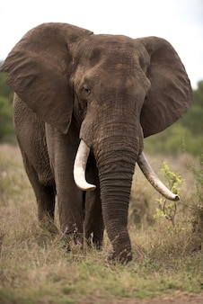 Foto vertical de um elefante africano com um fundo desfocado