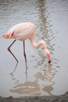 Foto vertical de um flamingo bebendo água