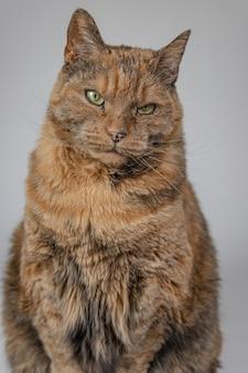 Foto vertical de um gato mal-humorado olhando para a câmera