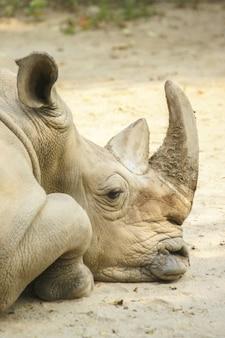 Foto vertical de um grande rinoceronte descansando no chão com um borrão