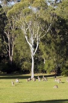Foto vertical de um grupo de cangurus em um vale ensolarado perto da árvore
