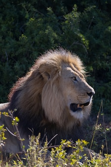 Foto vertical de um leão em uma floresta sob a luz do sol