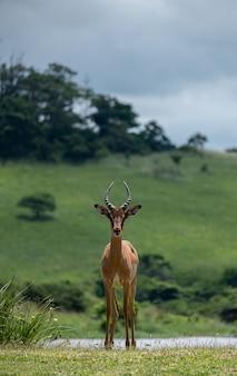 Foto vertical de um lindo antílope parado em um vale