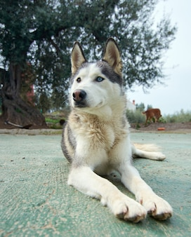 Foto vertical de um lindo husky siberiano deitado ao ar livre