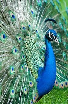Foto vertical de um lindo pavão com a cauda aberta durante o dia