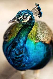 Foto vertical de um lindo pavão Foto Premium