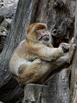 Foto vertical de um macaco da barbary na árvore