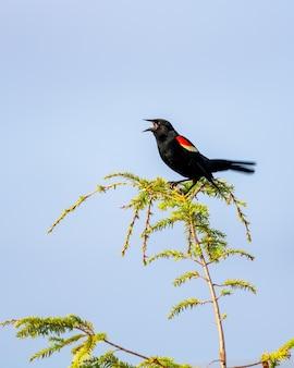 Foto vertical de um melro de asa vermelha em um galho cantando