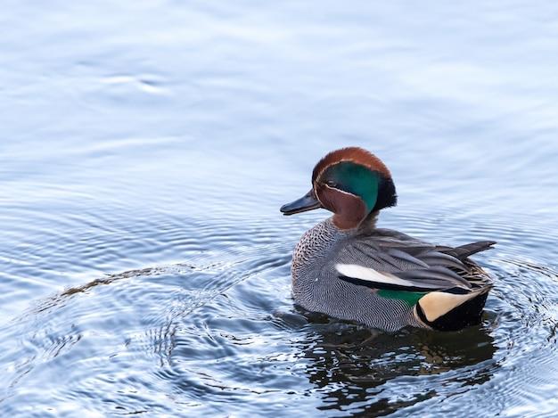 Foto vertical de um pato nadando em um lago durante o dia