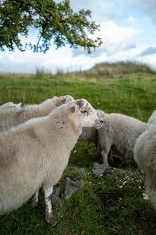 Foto vertical de um pequeno rebanho de ovelhas em um campo com o céu