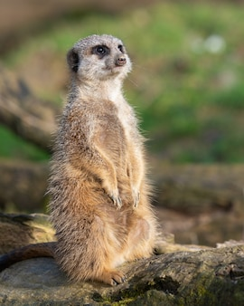 Foto vertical de um suricato de pé em uma madeira