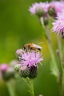 Foto vertical de uma abelha na knapweed em um campo sob a luz do sol com um borrão