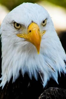 Foto vertical de uma águia careca olhando para a câmera